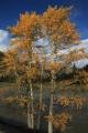 russland-sibirien-altai-herbst-pappeln