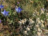 kasachstan-ile-alatau-enzian-edelweiss