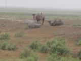 Kasachstan: Kamele im Regen