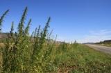 kasachstan-hanf-bluehende-landschaften