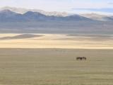 kasachstan-praerie-pferde