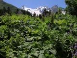 Dschungelvegetation im Kaukasus bei Dombai