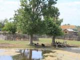 Russland Wolgadelta Vieh