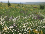 15. Juni Blumenwiese